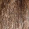 rat au poil bleu russe agouti, brun gris foncé