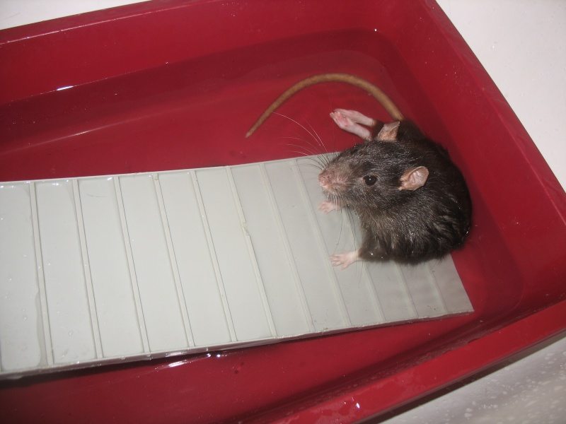 toilettage propreté rat nu