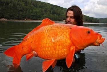 pez gigante koi