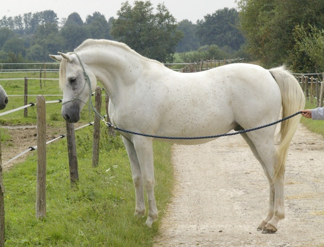 cheval arabe a vendre