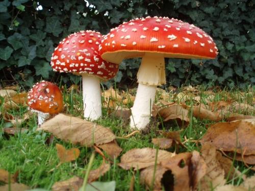 Alchemy & The Mushroom (Amanita)