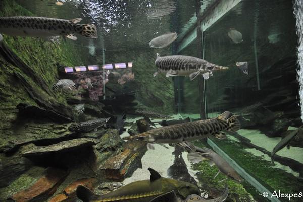 Aquarium du val de loire nouveaut 2011 les poissons for Poisson acoiriome