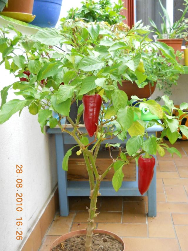Piment sympa - Piment de cayenne culture ...