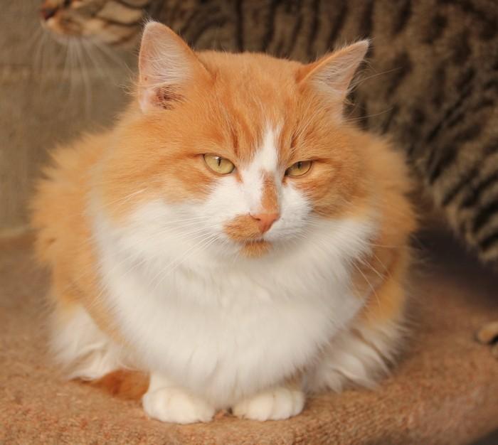 Chats roux et blanc - Enlever les puces sur un chaton ...