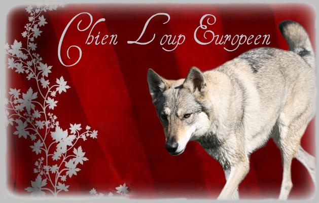 Chien loup Européen