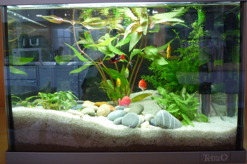 Mise en place d 39 un 20l for Poisson rouge aquarium 20l