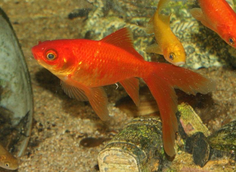 N 1 aquarium poissons rouge en cours de r fection for Quoi mettre aquarium poisson rouge