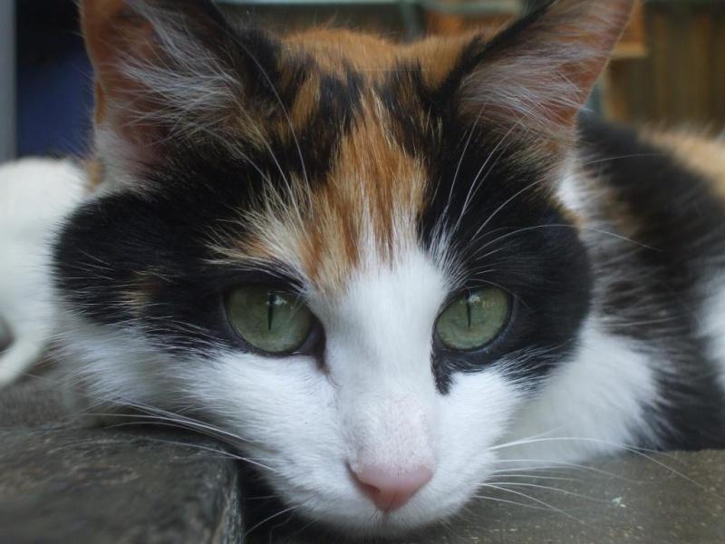 Re Nala femelle tricolore, juin 2008 (maison des chats de l