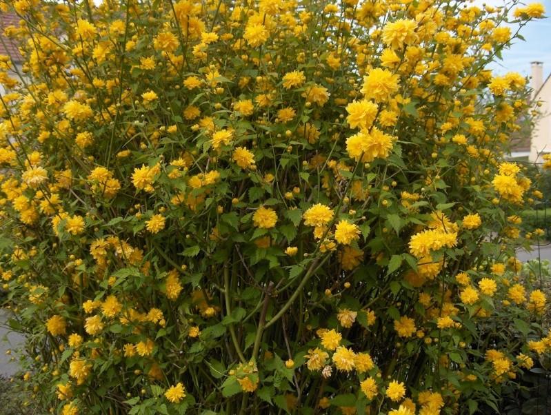 Kerria japonica for Kerria japonica